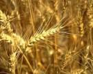 ООН прогнозирует снижение производства пшеницы в Украине на 37%