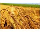 Производство пшеницы в 2012 году снизится на 3,6% по сравнению с прошлогодним показателем — ФАО