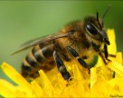 Клотианидин признали безопасным для пчел