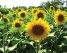 Агрохолдинг «Кернел» будет контролировать еще четыре агрофирмы