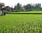 В США сделано исключение для применения Xemium (BASF) для ухода за рисом