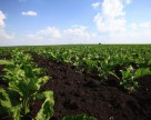 Винницкая область увеличила на треть посевные площади под сахарной свеклой