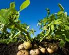 Bayer предложит британским картофелеводам новый инсектицид и фунгицид