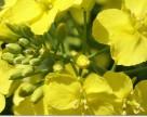 Агрохолдинг «Укрлэндфарминг» выделит 100 тыс. га под производство семян озимого рапса