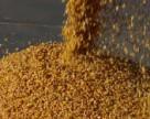 Урожай зерновых — новый прогноз Минагропрода Украины