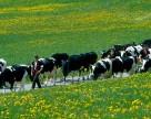 На Волыни растет стадо КРС