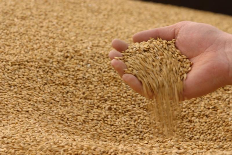 фото пшеницы зерно