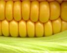 В Днепропетровской области отмечается крайне низкая урожайность кукурузы