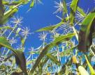 Урожайность кукурузы в Хмельницкой области не уступает прошлогодней