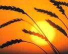 Министр не ограничивает экспорт пшеницы