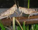 Инсектицид NipsIt INSIDE как новое средство от саранчи