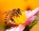 Пчёлы боятся пестицидов