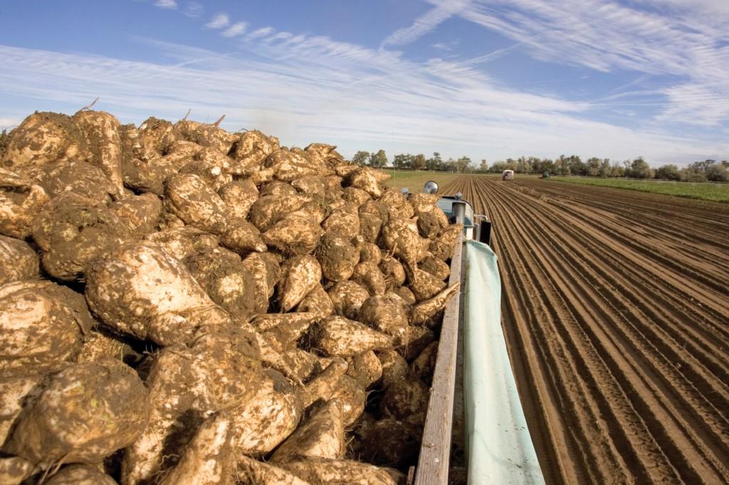 Выращивание сахарной свеклы на кубани 84