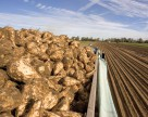В Тернопольской области завершили уборку сахарной свеклы и сои