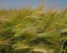Аграрии АР Крым обеспокоены ситуацией с посевами озимых зерновых