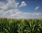 Гібрид кукурудзи Pioneer® встановив новий світовий рекорд з врожайності