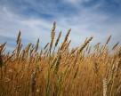 Юг Украины активно продает зерно форвардом