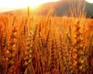 «Лихорадка» зернового рынка