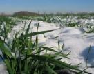 До 40% площ озимої пшениці у Київській та Тернопільській областях уражено борошнистою росою