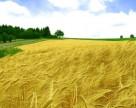 Минагропрод расширит возможности страхования посевов озимой пшеницы