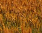 Аграрные расписки помогут АПК, но не сразу