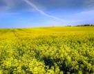 Украинский рапс: все предпосылки для высокого урожая