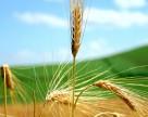 Ждем рекордного урожая озимых