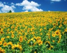 Украина сохранит площади под подсолнечником на уровне 4,7  млн га –