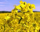Цветение рапса в Украине: аграрии уже объявили войну вредителям
