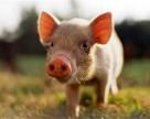 Недешевое свиноводство за $700 млн