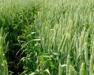 Защита озимой пшеницы потребует дополнительных затрат в этом сезоне