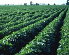 Страховые гербициды на сое