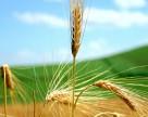 Новые сорта ценной сельскохозяйственной культуры разработают в Канаде