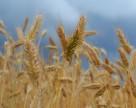 Как начался новый сезон на экспортном зерновом рынке