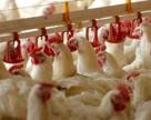 Армения: удобрение с птицефабрики дешевле азотной селитры?
