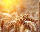 Жара спровоцировала раннее созревание зерновых