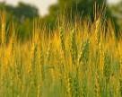 В Украине урожайность зерновых выше, чем в прошлом году
