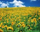 На юге Украины можно вырастить два урожая подсолнечника в год?