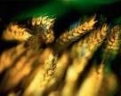 В Крыму гибнут посевы зерновых