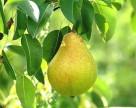В Украине ожидается высокая урожайность груши