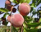 В Украину ввезли зараженные персики из Польши