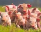 В Украине строится новый крупный свинокомплекс