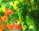 В переработку винограда