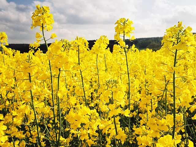 Выращивание ярового рапса в украине 59