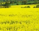 Украинские аграрии засеяли уже треть озимого рапса