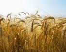 Рынок зерна сбавил обороты