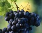 В Украине дорожает виноград