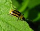 В Винницкой области введен карантин из-за западного кукурузного жука