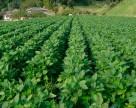 Страхование сельхозкультур станет проще и дешевле
