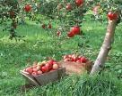 Цена на яблоко в Украине все еще ниже, чем в прошлом году